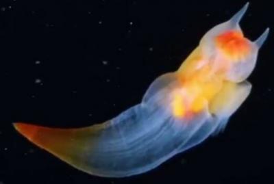 俄潜水员冰下拍摄到裸海蝶,是怎么做到的呢?