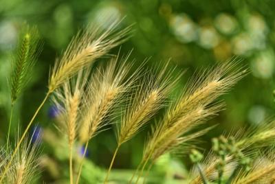 澳媒称中国准备对澳洲大麦征收高额关税:反倾销和反补贴税