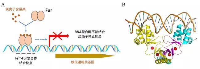 山东大学改写细菌铁代谢调控经典模型,铁转录因子的构象会改变