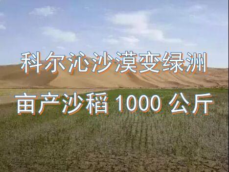 科尔沁沙漠变绿洲,亩产沙稻1000公斤