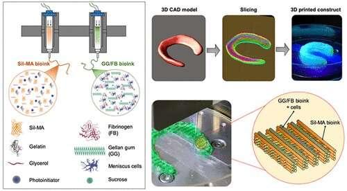 科学家创造了用于软骨再生的混合组织结构