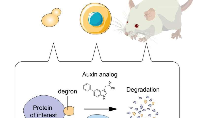 基因擦除器——可以精确、快速地降解目标蛋白质