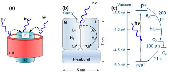 新型生物光电晶体管,可将光合蛋白转化为电化学能!