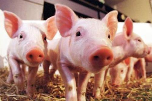 温氏股份2020年猪肉销售近400亿,销售肉猪954.55万头