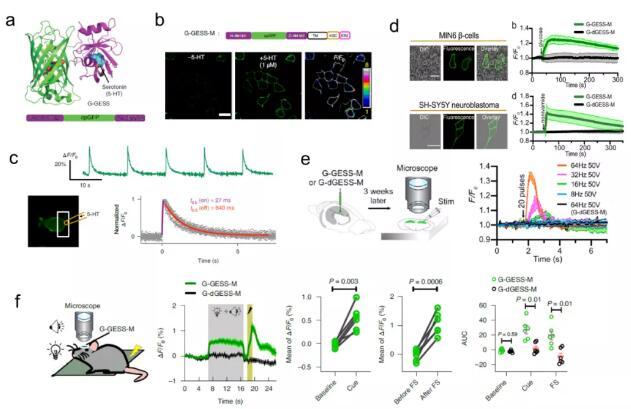 美学者研制了一种新型基因探针,可检测自然生理活动下血清素变化
