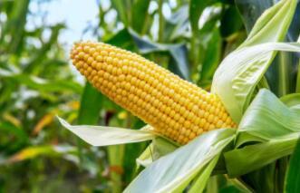 """我国构建玉米育种的""""高铁技术"""",守住中国粮食安全底线"""