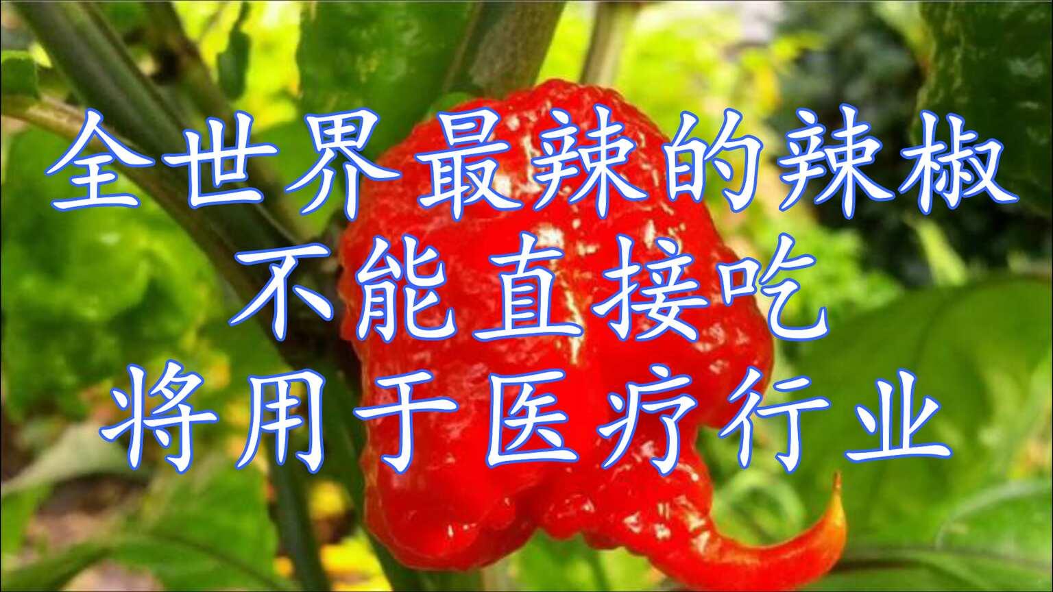 全世界最辣的辣椒-龍息辣椒,竟不能直接食用,但將用于醫療行業