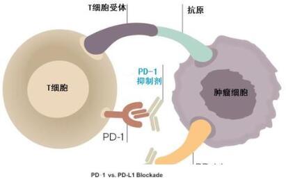 胸腺癌新药!康宁杰瑞PD-L1/CTLA-4双抗KN046获FDA批准Ⅱ期临床