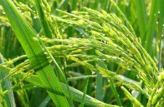 水稻育种性能突破!新品种预计每亩增产100公斤
