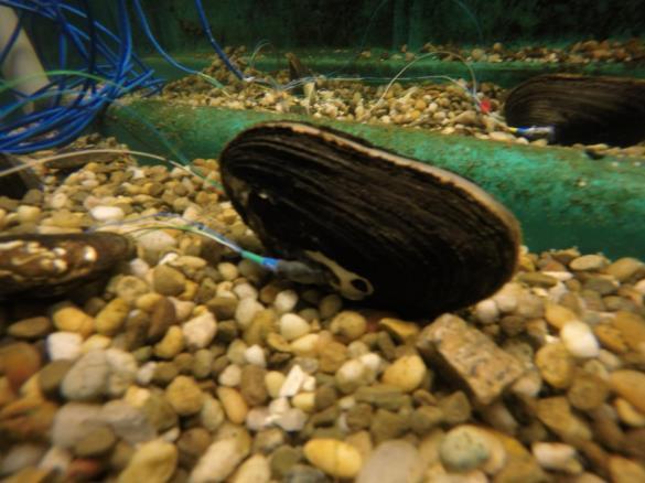 研究人员研发贻贝传感器 为新的环境监测工具铺平道路