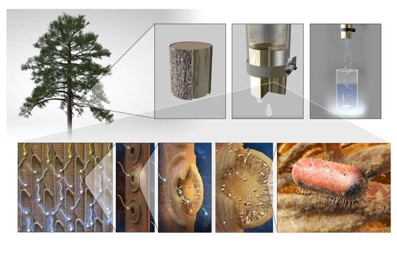 麻省理工学院(MIT)的工程师们用树枝做过滤器净化饮用水