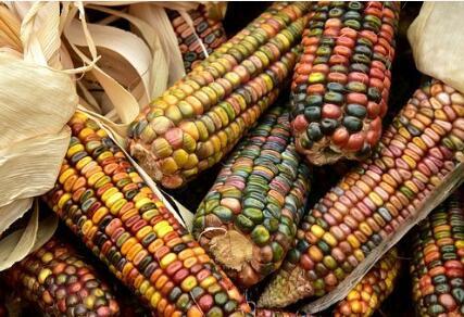 紫色玉米通过生物精炼方法,可以生产天然染料