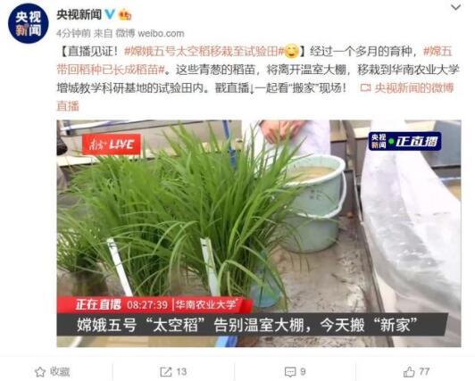 """嫦娥五号太空稻移栽至试验田,品种为 """"航聚香丝苗"""""""