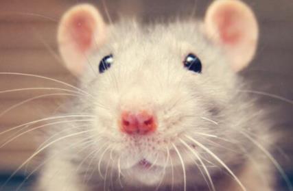 老鼠胡须如何激活不同的感官细胞?科学家发明新机械模型揭秘神经元下的触觉