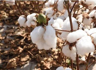 新疆棉产业链梳理,你需要了解得更深入一些