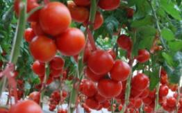新疆番茄事件后续:番茄种植户称早已实现规模化和机械化生产