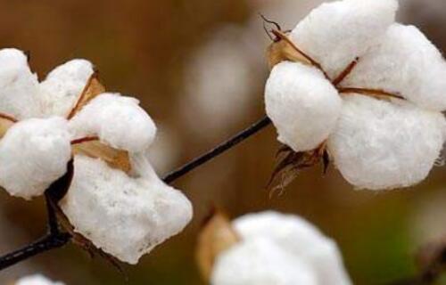 近期北半球棉花播种拉开序幕,下一步棉市将何去何从?