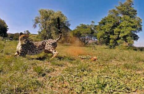 受猎豹启发设计出能够更轻松地在自然地形中移动的机器人