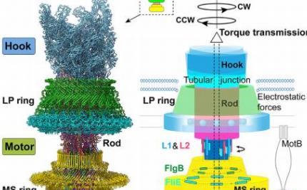 冷冻电镜解析了细菌鞭毛马达的结构!浙江大学发现细菌能运动的潜在机理