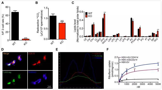 维持精子内的能量稳态!清华大学发现调控精子能量代谢新基因