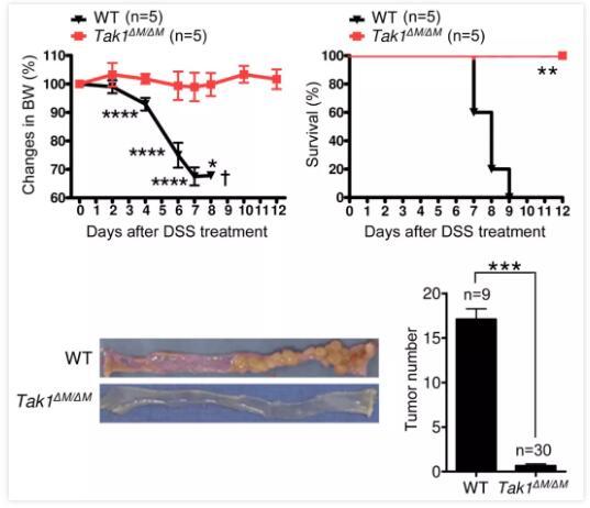 结肠癌机理新研究!王荣福团队证实内脏臭气杆菌可诱导免疫抑制性Th17细胞