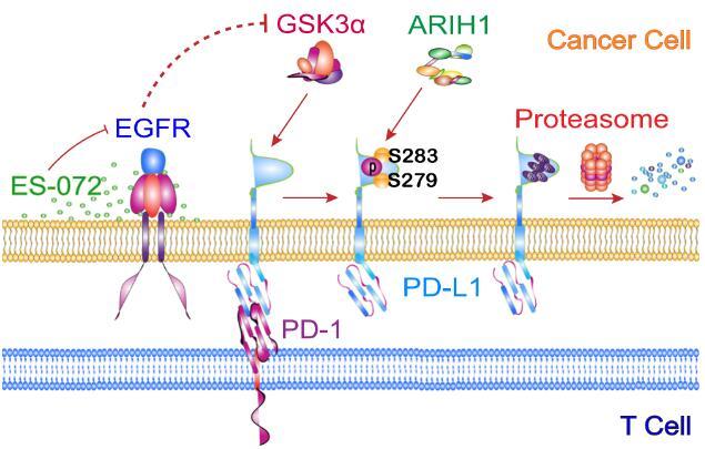 癌症免疫治疗新靶点!浙大鉴定了PD-L1蛋白新的E3泛素连接酶ARIH1