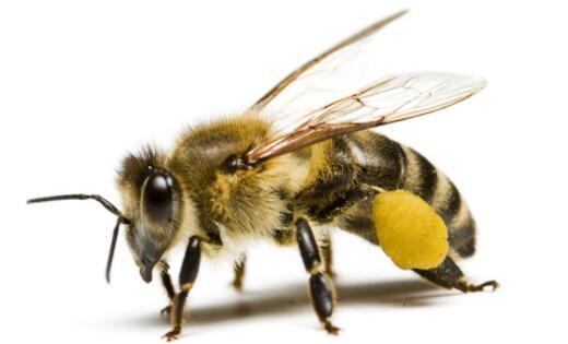 快捷廉价且有效!荷兰科学家训练蜜蜂检测新冠病毒,准确率可达到大约95%