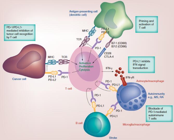 PD-1 / PDL-1免疫治疗的历史,抑制剂的作用机制和未来发展趋势概述