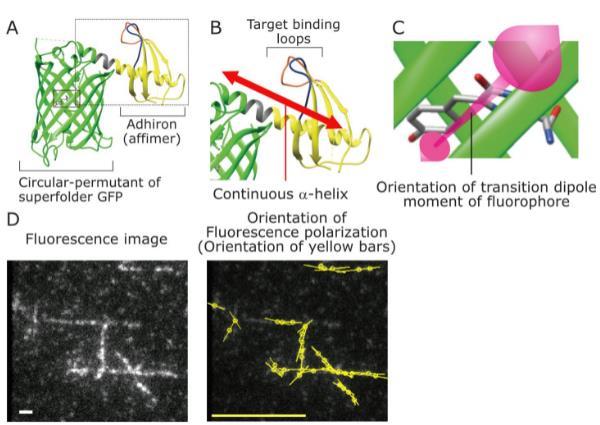 科学家合作开发用于活细胞荧光成像的新技术
