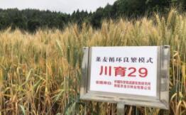 小麦新品种川育29来了:具有抗条锈病能力强,高产优质等特点