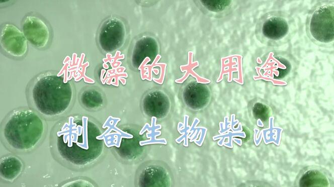 小小的微藻,大大的用途,你知道吗,它竟能制备生物柴油
