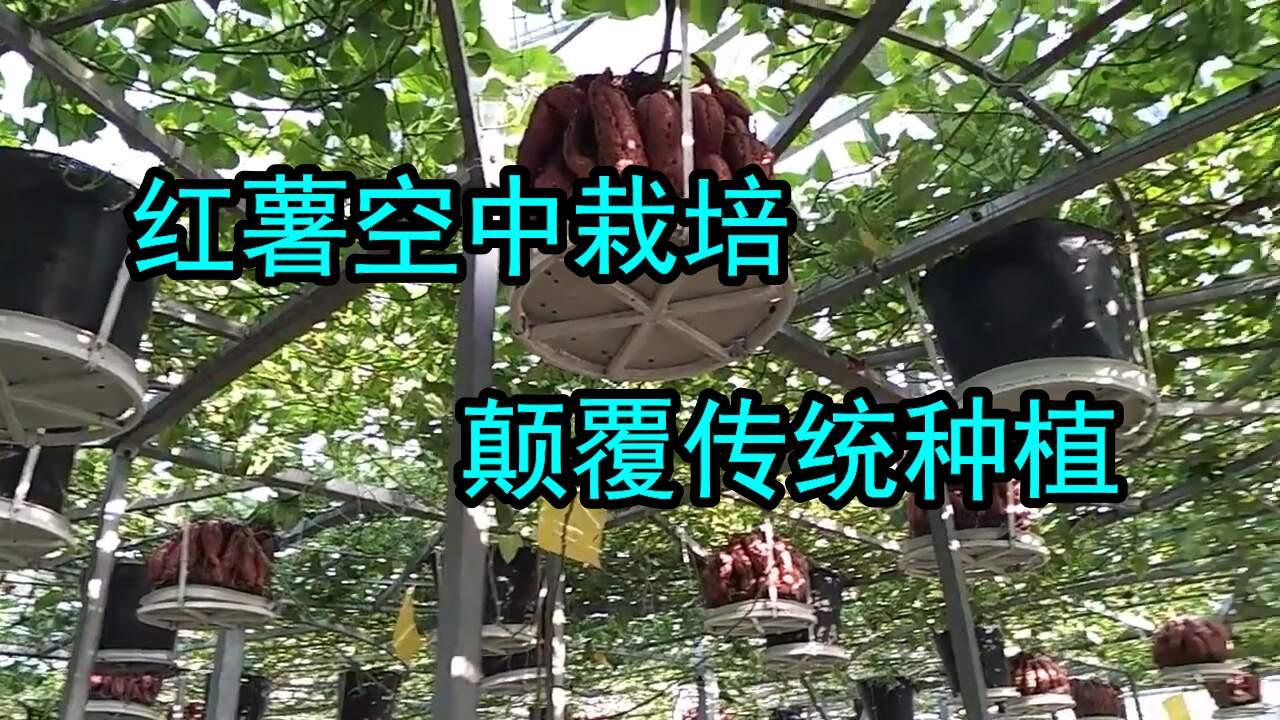 空中也能红薯种植?从梦幻到现实全靠空中栽培