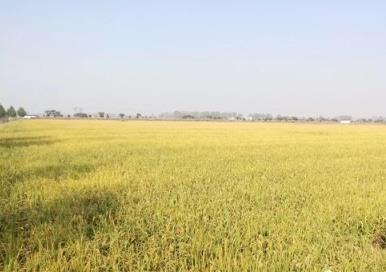 节水抗旱稻减排潜力大 比一般水稻少排9成温室气体