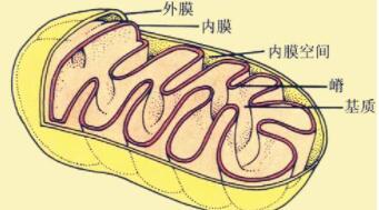 广州健康院系统研究线粒体在细胞去分化、分化和病变中的作用
