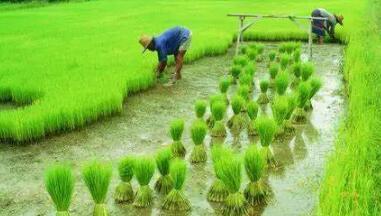 杂交水稻在中国的发展史