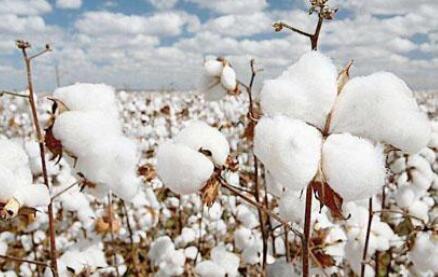 郑棉再次逼近15500元/吨,织造企业当前面临哪些困难?