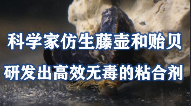 科学家仿生藤壶和贻贝,研发出了一种高效无毒的粘合剂