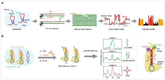 清华大学开发了RNA二级结构探测新技术,可获得完整结构信息
