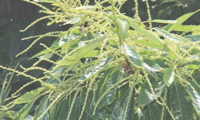 在栗樹葉中發現的新分子:可以中和耐藥性的葡萄球菌