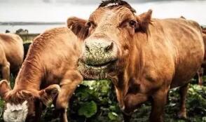 給牛套上可穿戴設備將減少90%的甲烷排放量?嘉吉動了心思