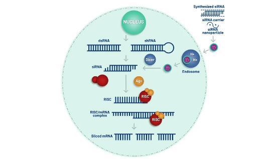 圣诺制药获得1.05亿美元E轮融资,用于新型 RNAi 疗法的持续开发