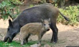 日本福島放射性雜交野豬瘋狂繁殖超6萬頭,放射性元素超安全水平 300 倍