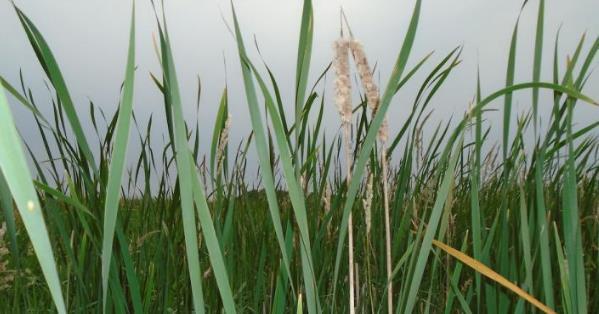 研究表明:人工濕地是農業徑流進入水道的最佳保護