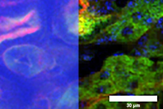 双光子成像显微镜,可以快速获得大脑血管和神经元的高分辨率图像