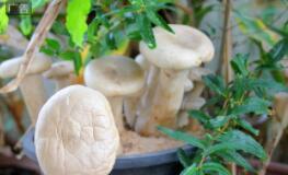 云南食用菌產值達到242.82億元,博聞科技構建食用菌行業產業鏈
