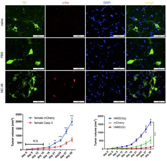 打開了新的思路!王曉東等發現兒茶酚胺神經元對腫瘤調控的機制