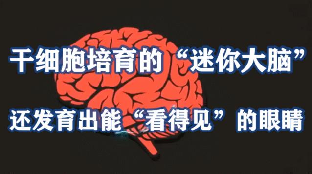 """干细胞培育的""""迷你大脑"""",发育出能""""看得见""""的眼睛"""
