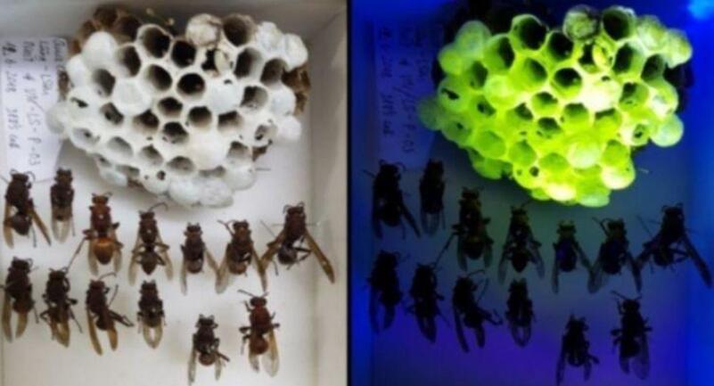 """科学家发现了黄蜂的""""超能力"""",它们住的""""房子""""会出绿色的荧光"""