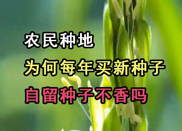 农民种地为何每年买新种?自留种子不香吗