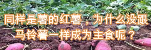 同样是薯的红薯,为什么没跟马铃薯一样成为主食呢?